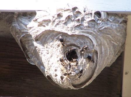 wasp-nest.jpg