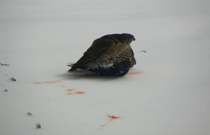 Hawk killing a bluejay