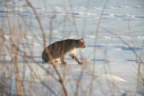 New Hampshire Bobcat