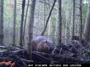 Evening Beaver