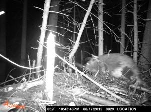 Beaver After Dark