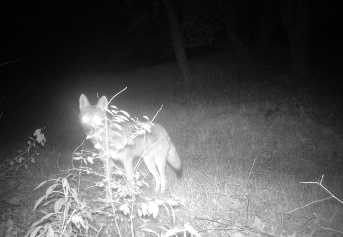 coyote in the orchard