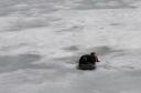 Otter, Hunting Crayfish