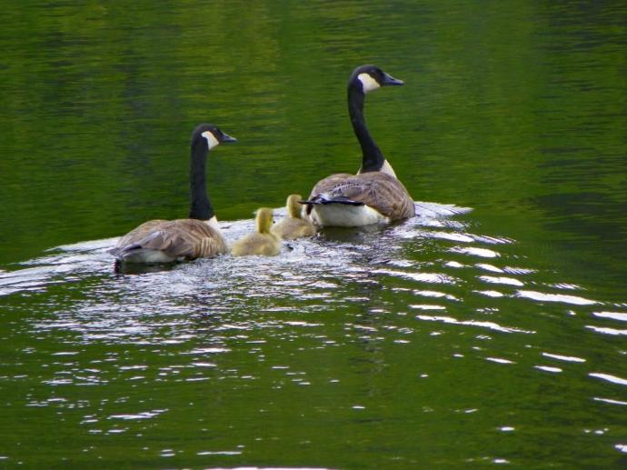 geese with two goslings